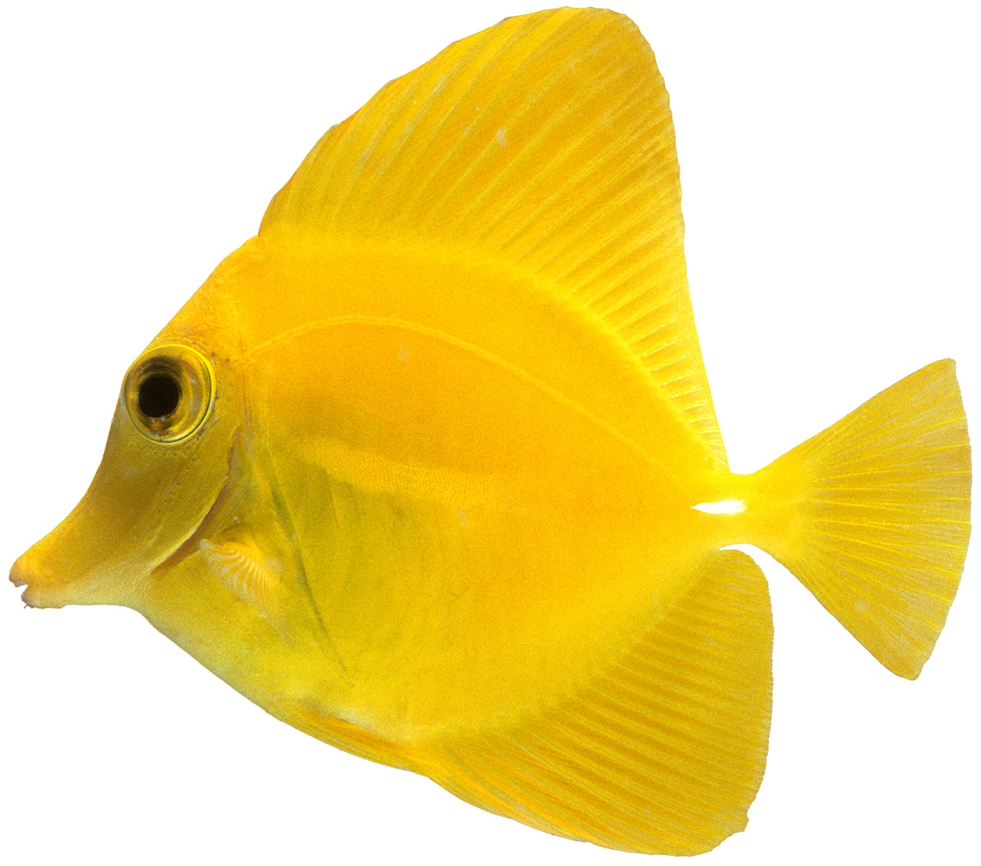 Yellow Tang | Yellow Tang Fish Facts | DK Find Out