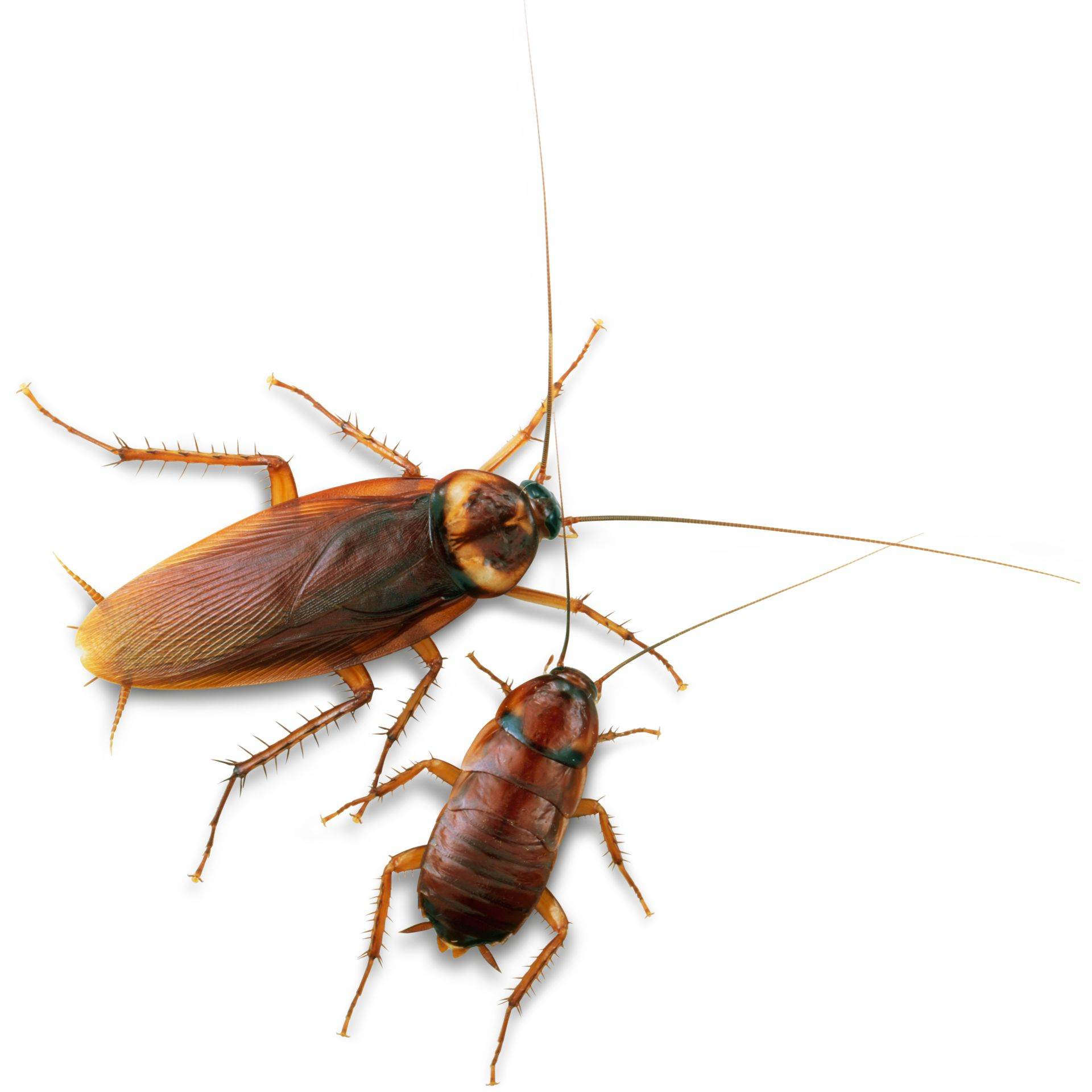 Cockroach Facts | Cockroach Information | DK Find Out