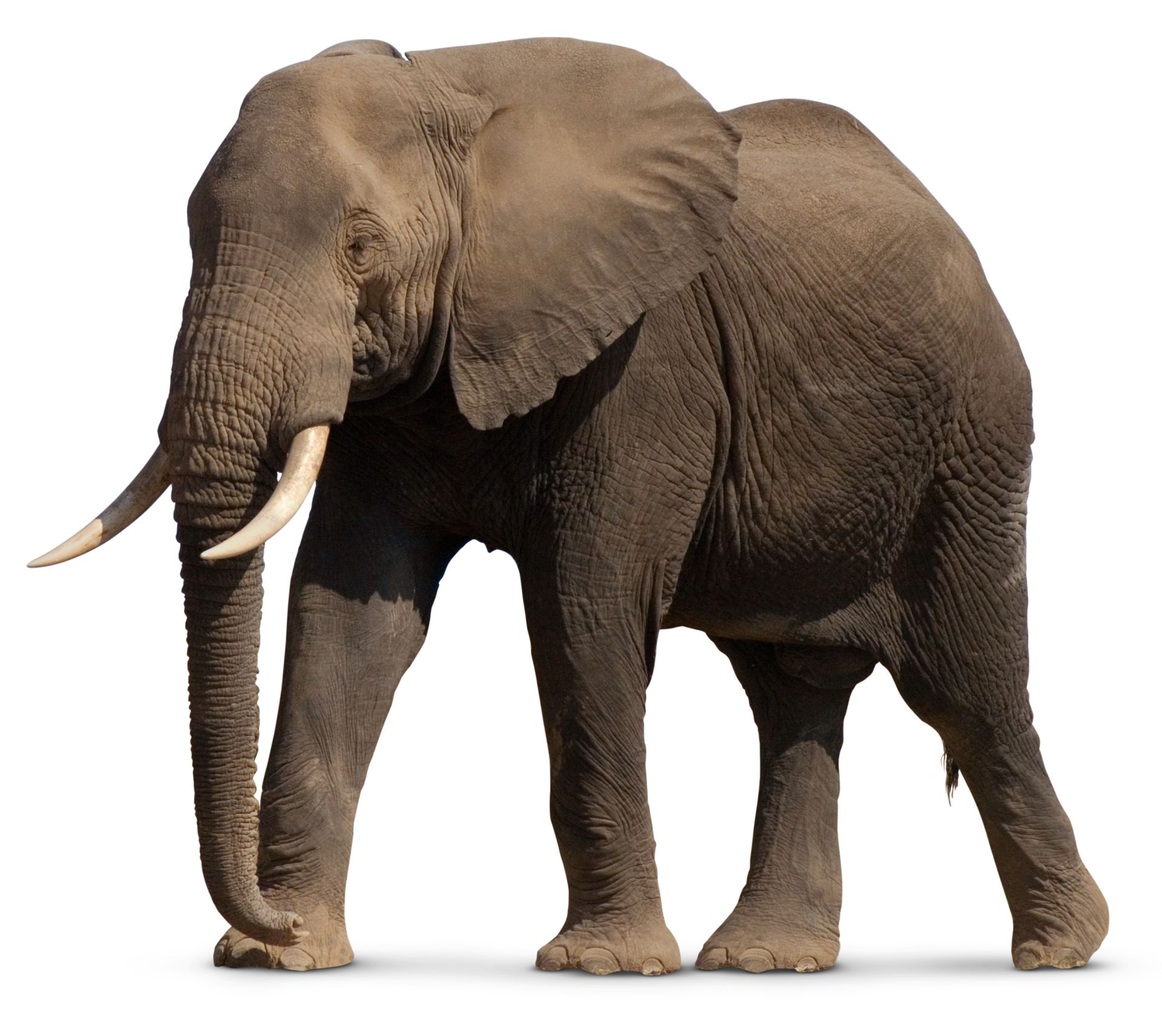 Essay on Elephant