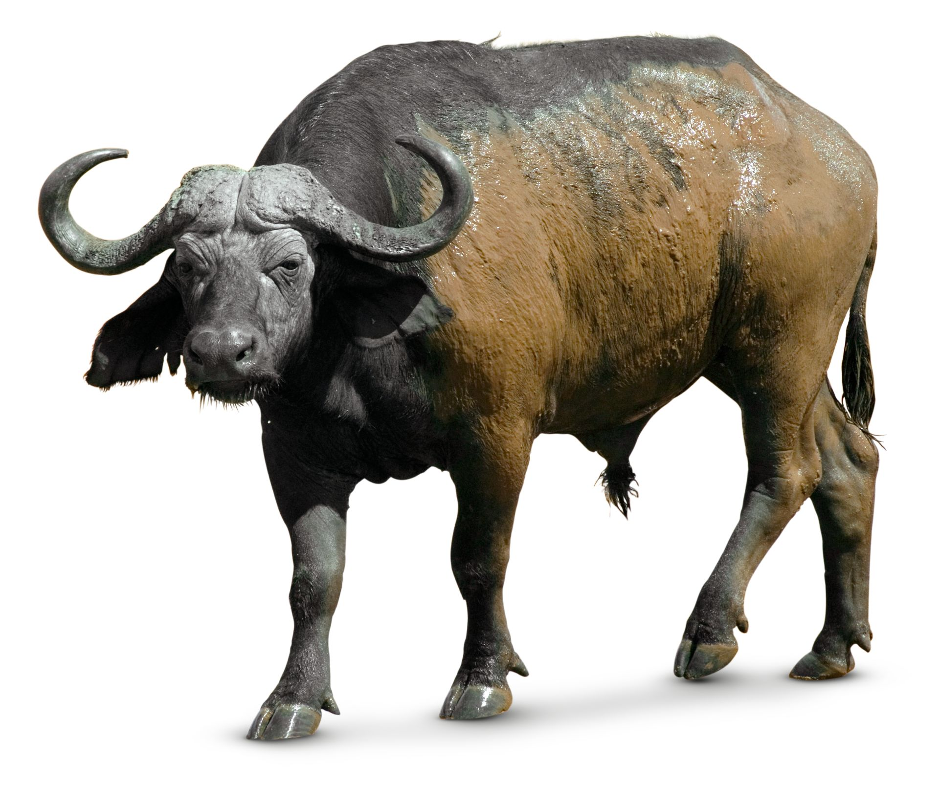 African Buffalo Pictures African Buffalo Facts ...
