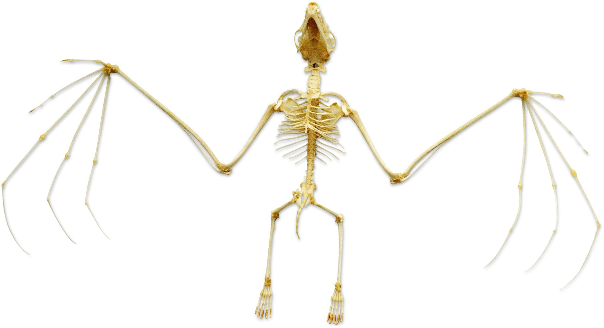 Bat Skeleton | Bat Anatomy | DK Find Out