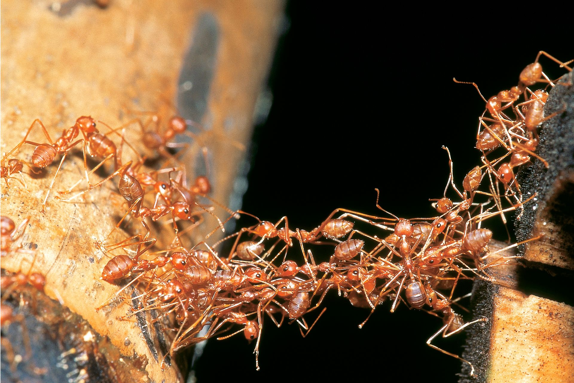 army ants Blades of green informs residents about army ants maryland pest control.