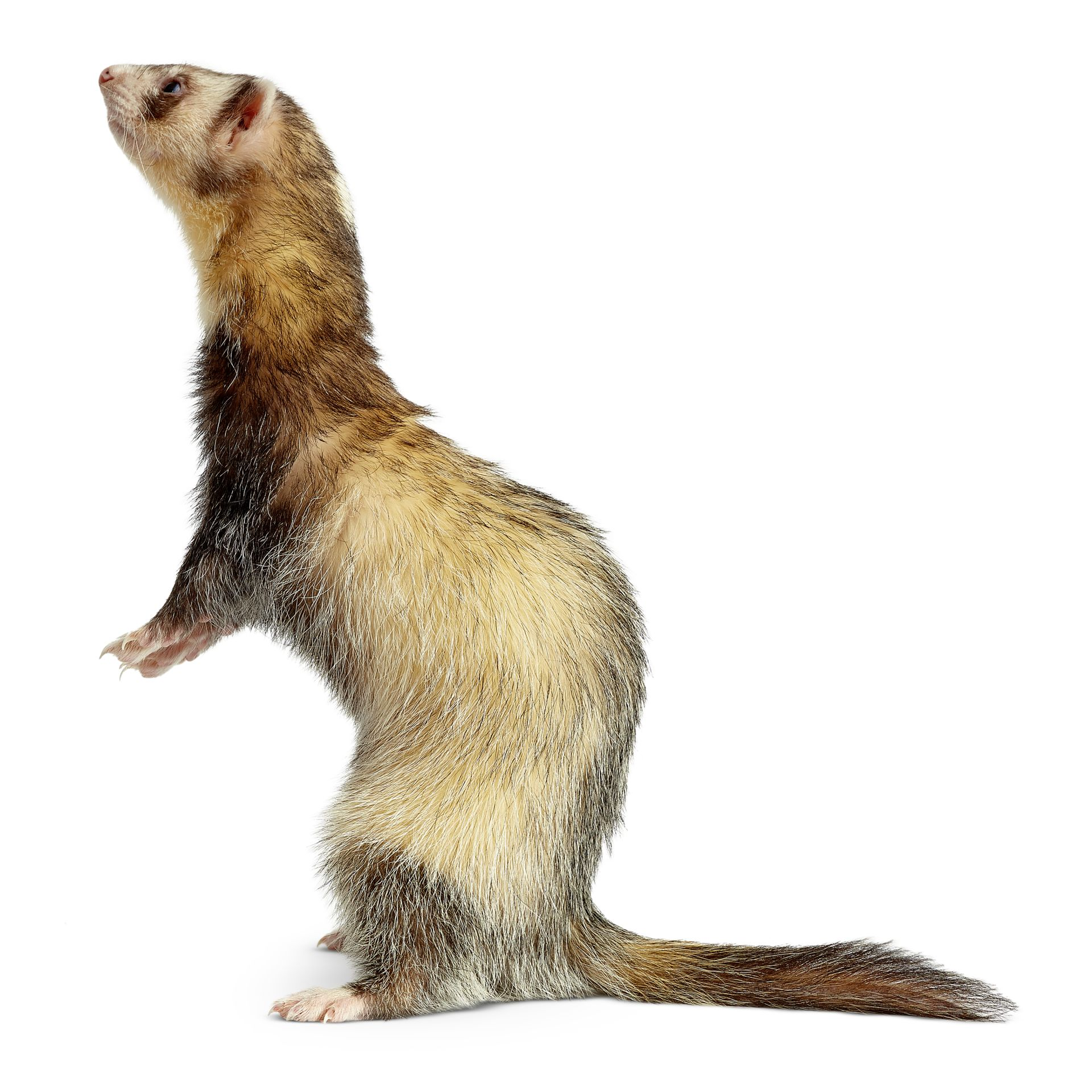 how to train a ferret to come when called