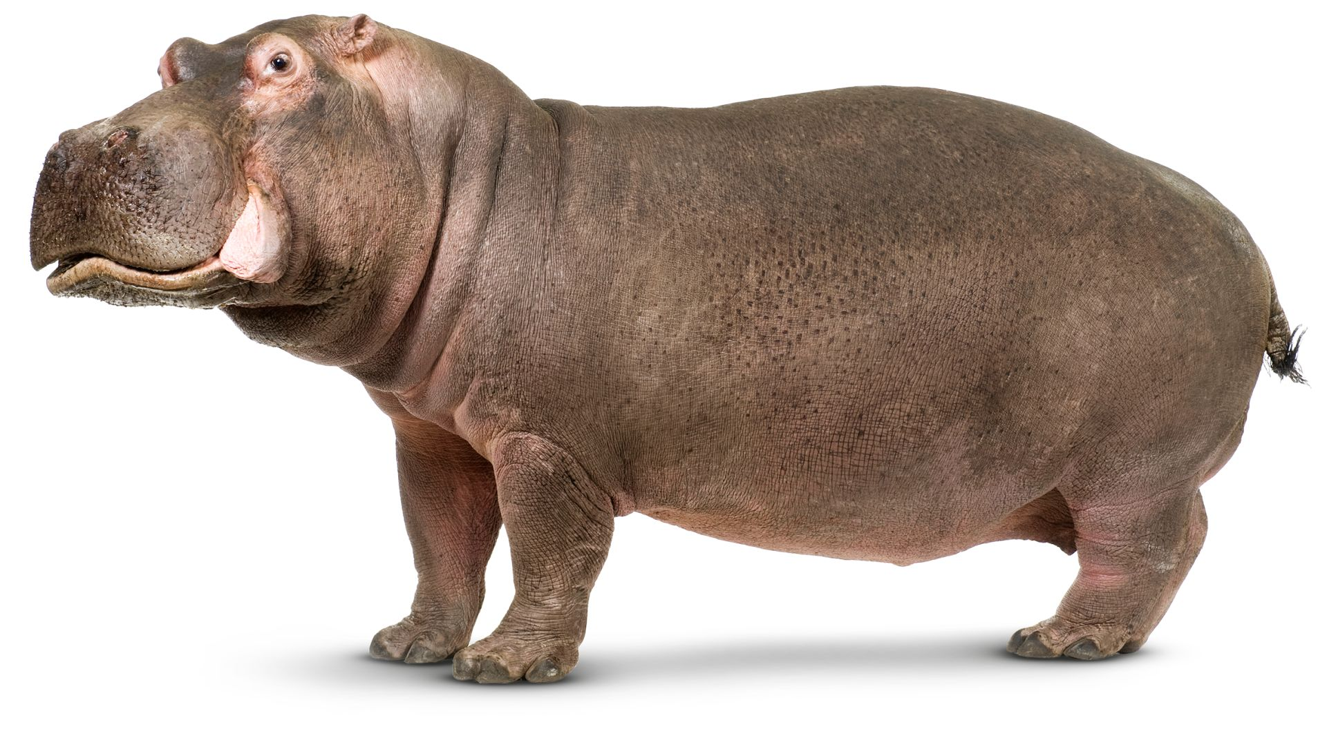Hippo Facts For Kids What Is A Hippopotamus Dk Find Out