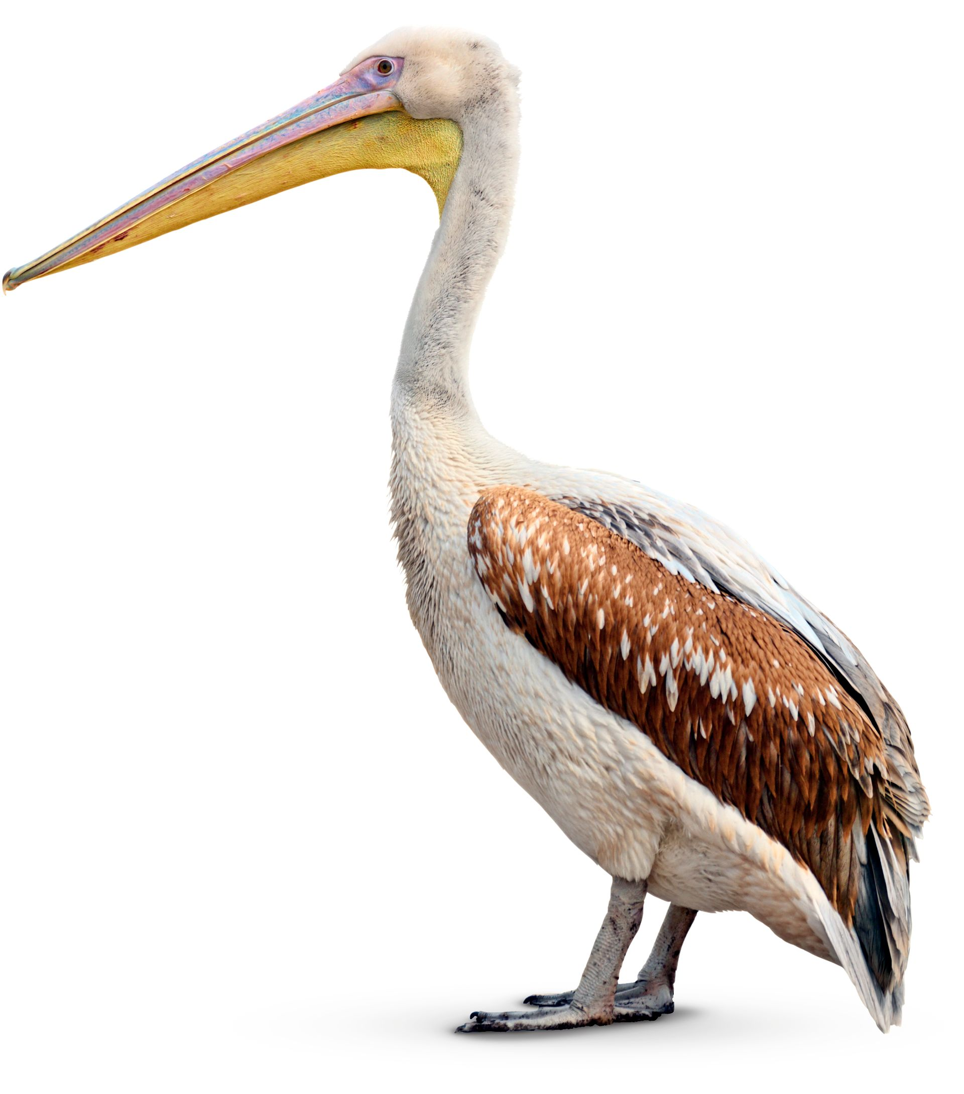 facts about pelicans pelican beak dk find out