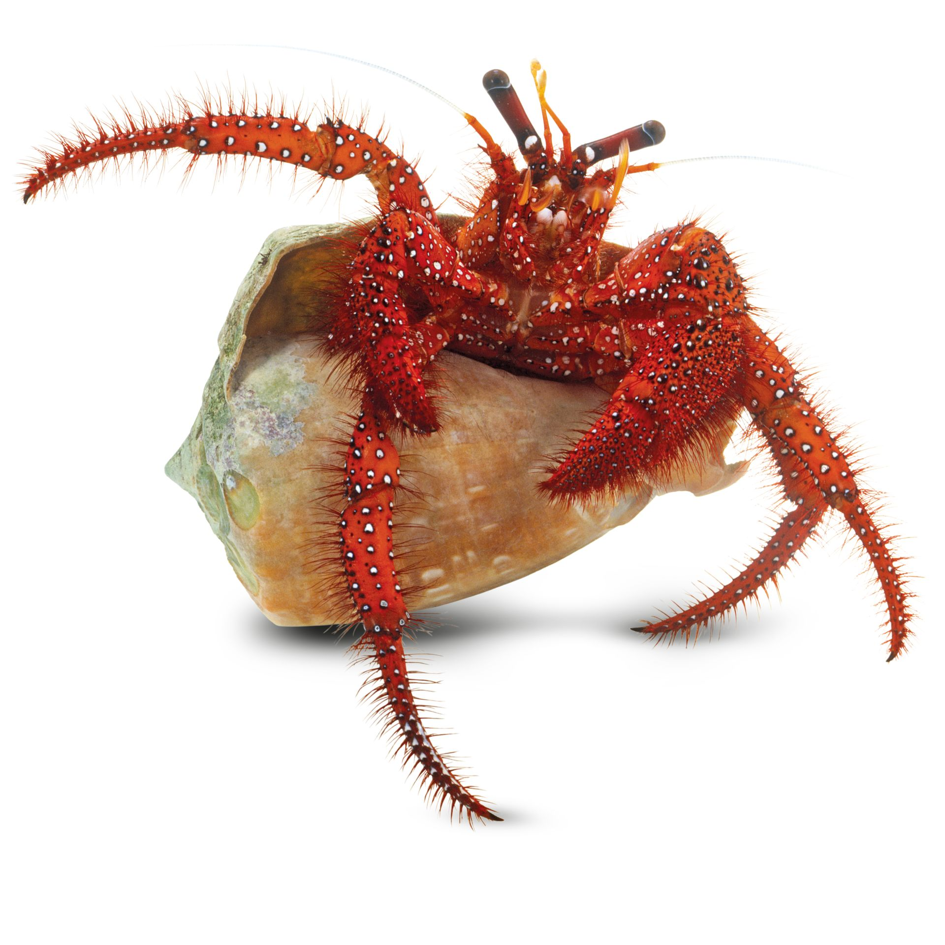 hermit crab facts hermit crab shells dk find out