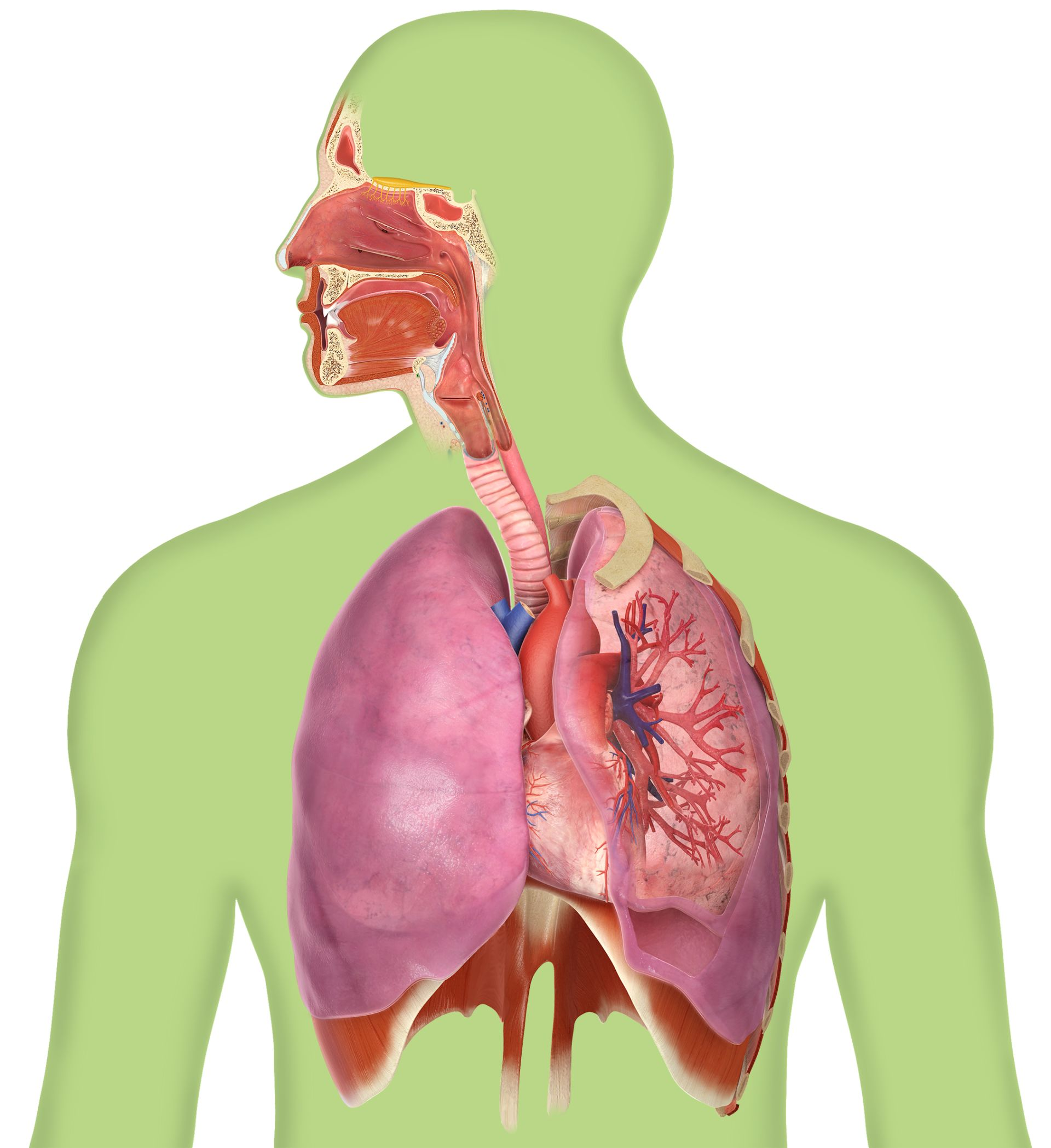 Facts About The Lungs Breathing Facts Dk Find Out