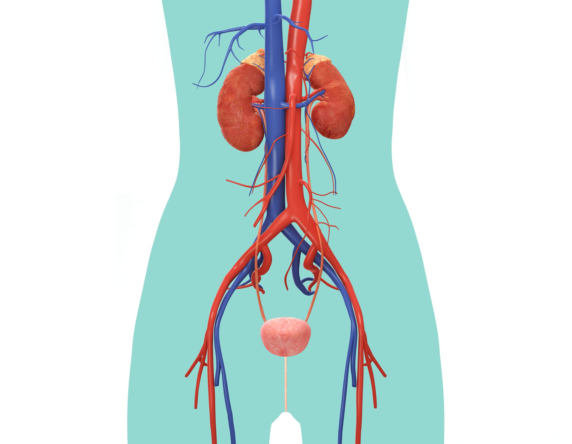 Urinary System For Kids Urinary System Diagram Dk Find Out