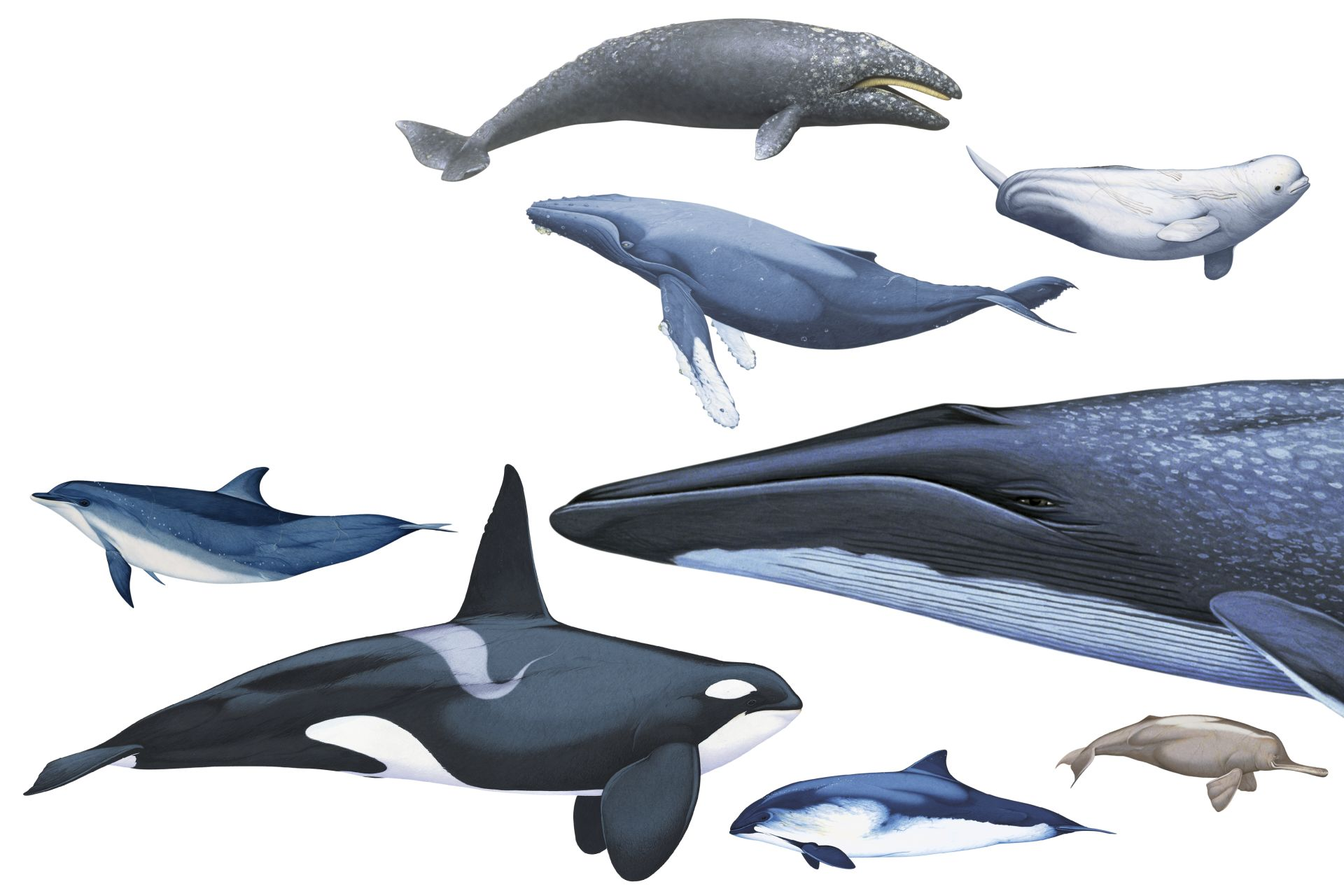whales and dolphins The iwc is the body charged with regulating whaling and addressing the vast number of other threats to whales, dolphins and porpoises in our oceans such as shipping, climate change, and bycatch wwf is working to make the iwc more effective in reducing all threats to whales.