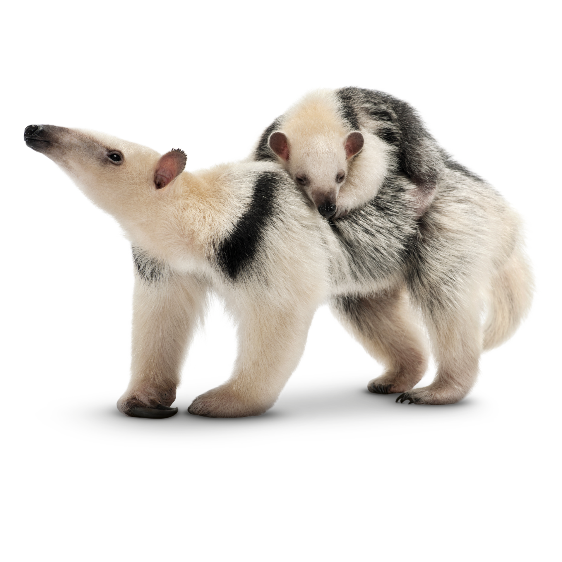 sloth facts for kids anteater facts dk find out