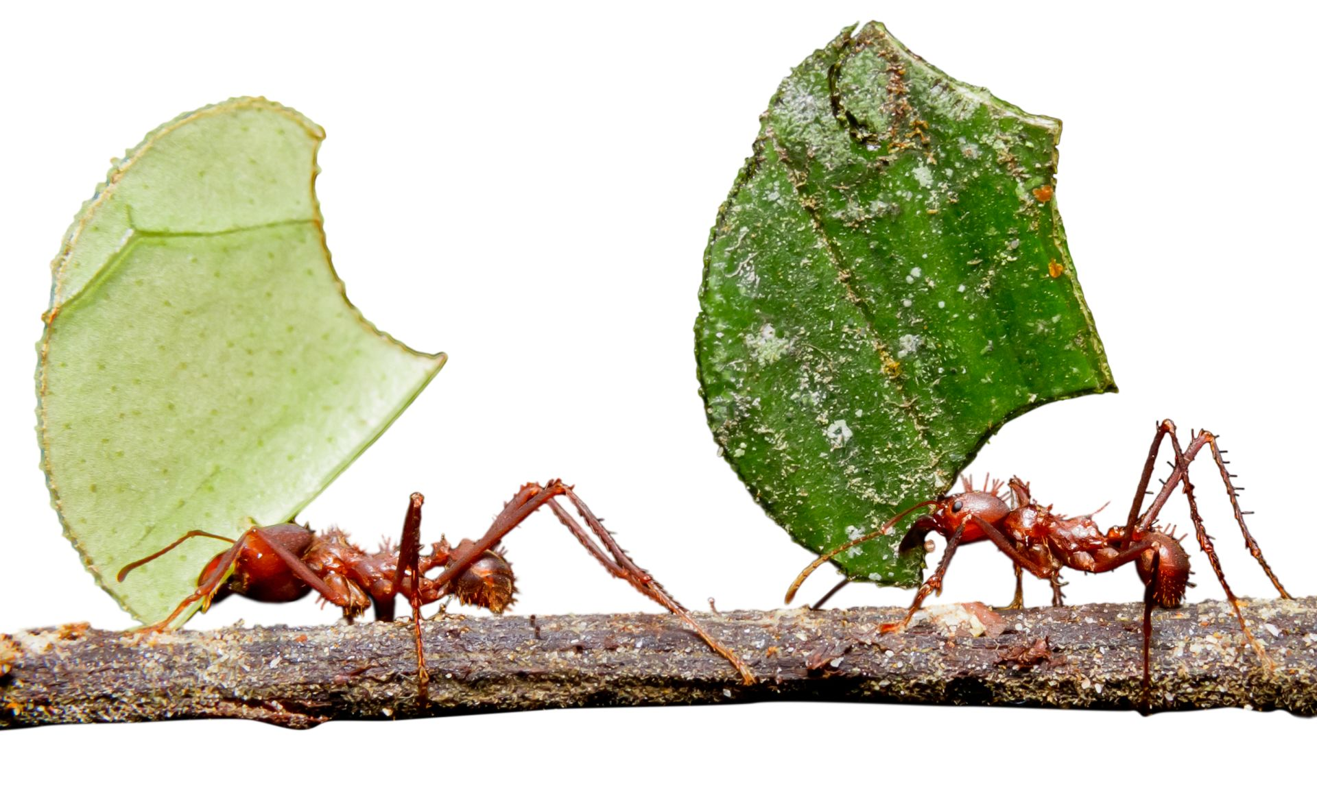 a report on the leaf cutting ants Methyl 4-methylpyrrole-2-carboxylate, a volatile trail pheromone previously identified from atta texana, has been isolated and identified from the ant species, atta cephalotes the natural and the synthetic compound produce strong trail-following activity in a laboratory colony of a cephalotes.