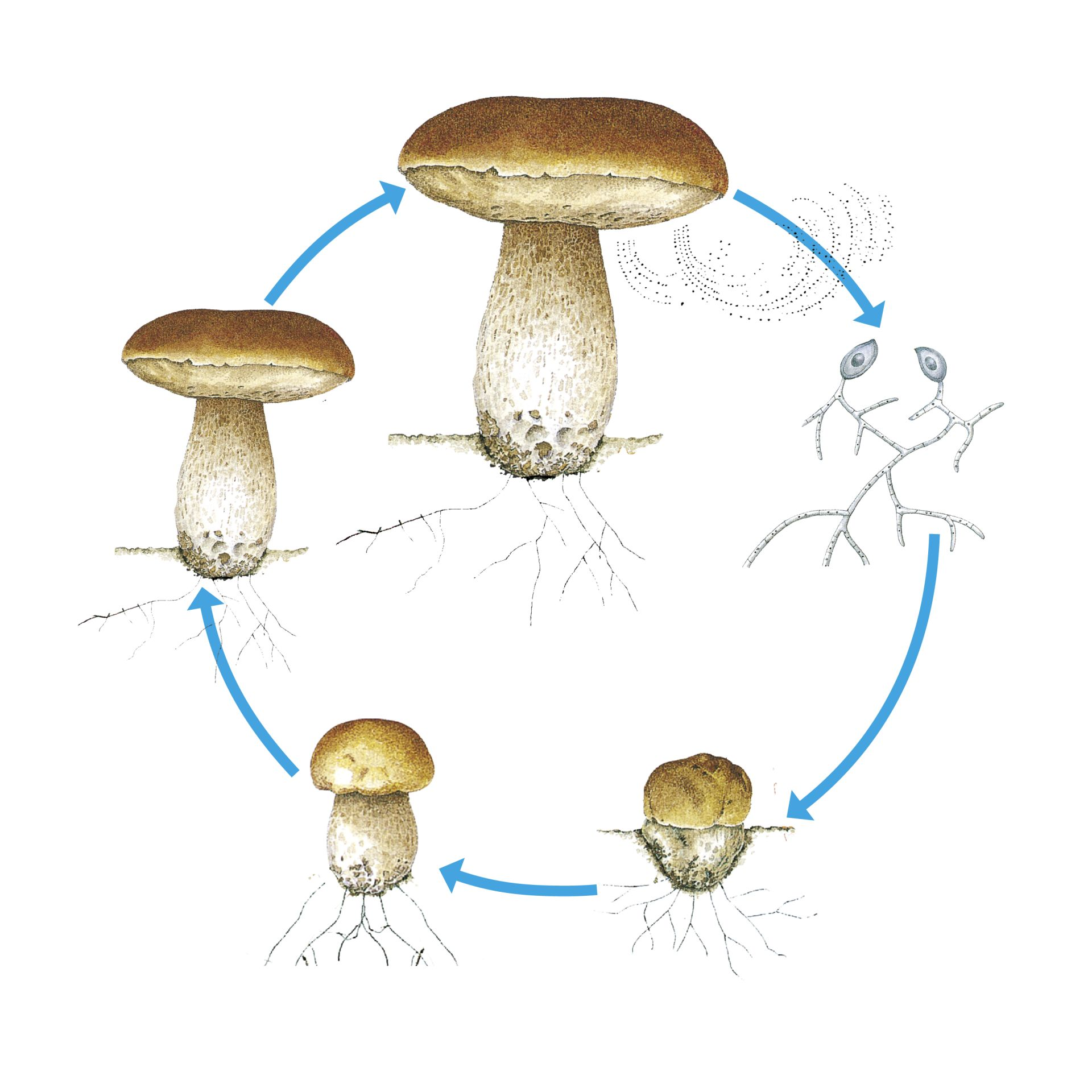 Mushroom Life Cycle How Mushrooms Grow Dk Find Out