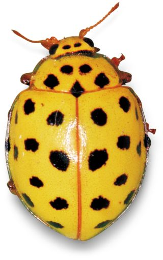 Facts About Ladybirds What Are Ladybirds Dk Find Out