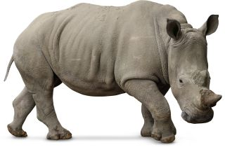 Rhino Facts For Kids | Where Do Rhinos Live | DK Find Out Mammals Clipart Black And White