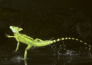 Helmeted Lizard | Green Basilisk Lizard | DK Find Out