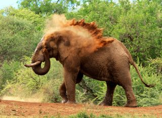 facts about elephants types of elephants dk find out