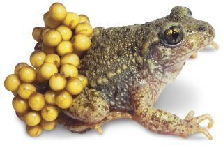 Some Frogs And Toads Have Unusual Ways Of Caring For Their Eggs And  Tadpoles. This Male Midwife Toad Carries The Spawn Around In Strings  Attached To His ...