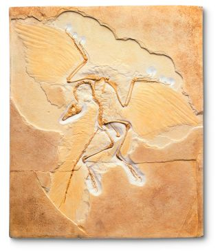 Archaeopteryx | Archaeopteryx Facts | DK Find Out