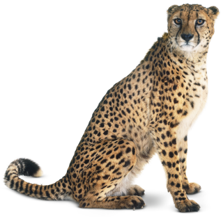How Fast Is A Cheetah >> What Is A Carnivore | Facts About Carnivores | DK Find Out