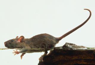 Facts About Rats Types Of Rats Dk Find Out