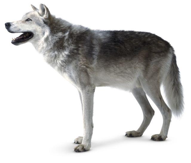 wolf danmark