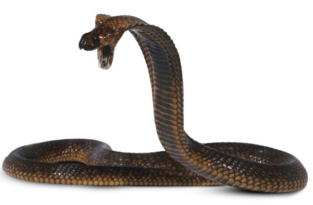 Cobra Snake Facts | Cobra Snake Information | DK Find Out