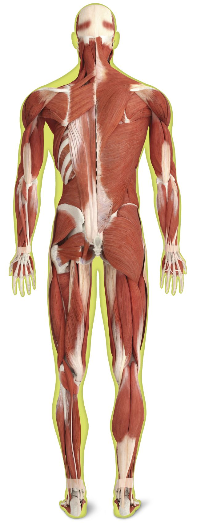 Skeletal Muscles Skeletal Muscle Definition Dk Find Out