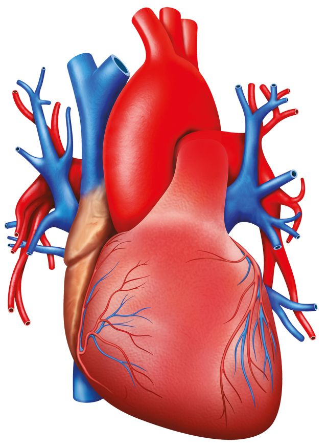 Take The Heart And Blood Quiz Quiz Human Body Lessons Dk Find Out
