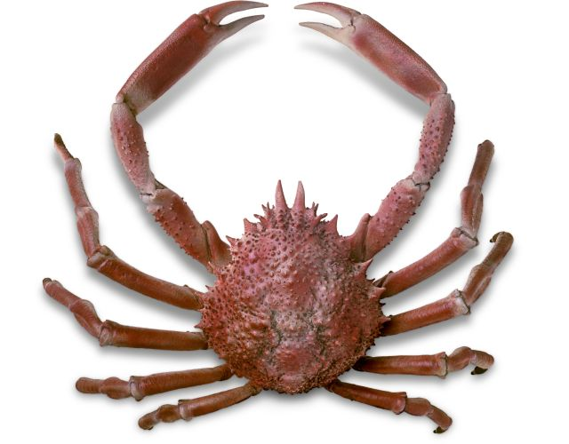 Spider Crab Facts For Kids