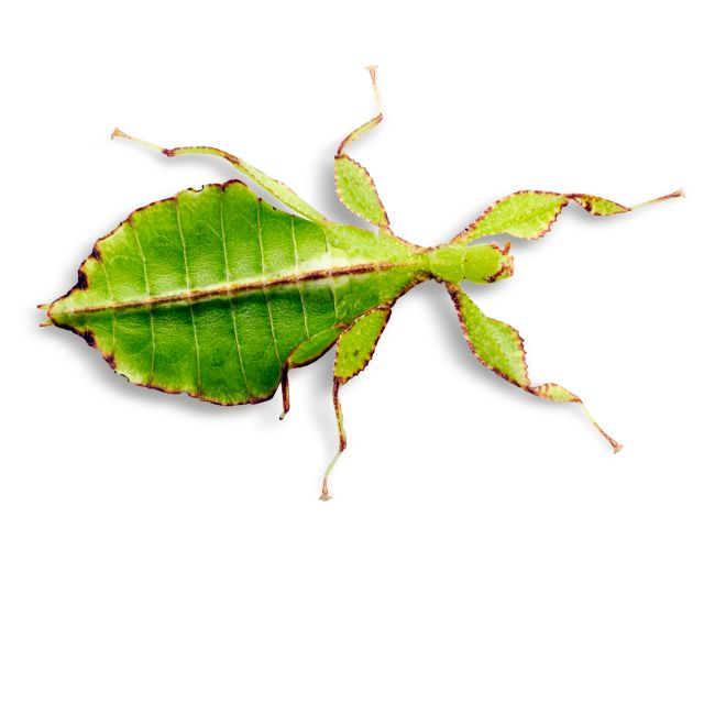 Stick Insect Facts Stick Insects For Kids Dk Find Out
