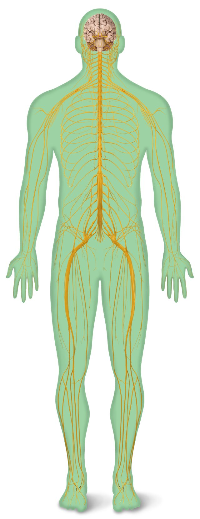 Human Body Systems | Parts of the Body | DK Find Out