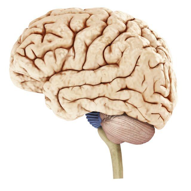 Inside The Human Brain For Kids
