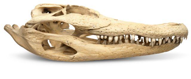 Crocodile jaw muscles
