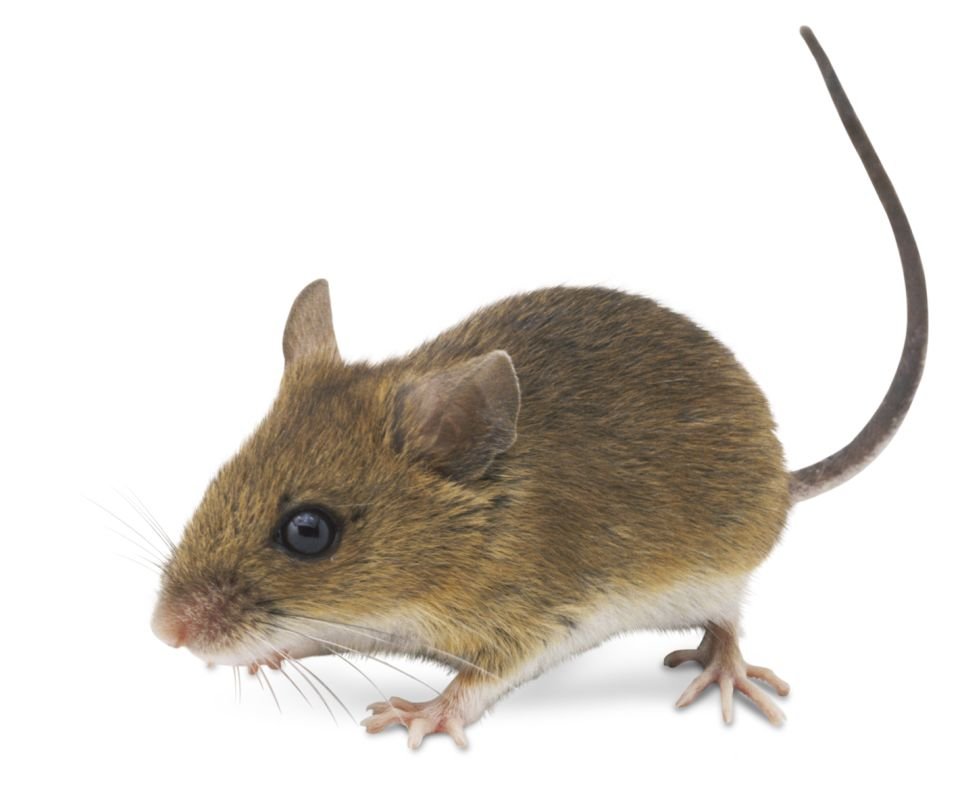 house mice facts about mice dk find out