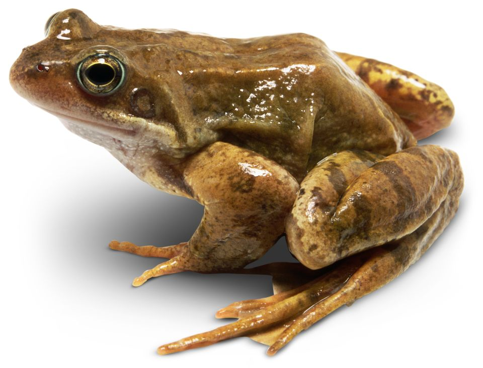 webbed frogs with Toads feet and