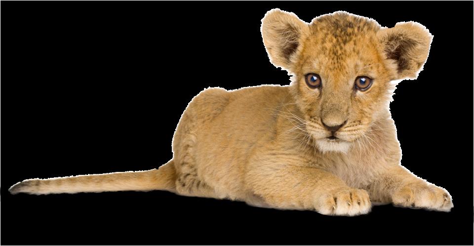 Lion Facts for Kids | Lion Information | DK Find Out