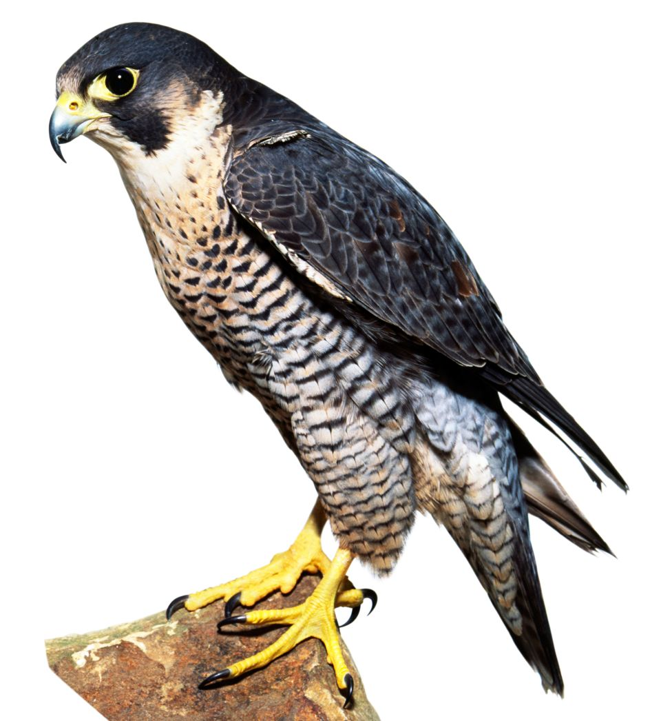 Birds Of Prey Birds Of Prey List Dk Find Out