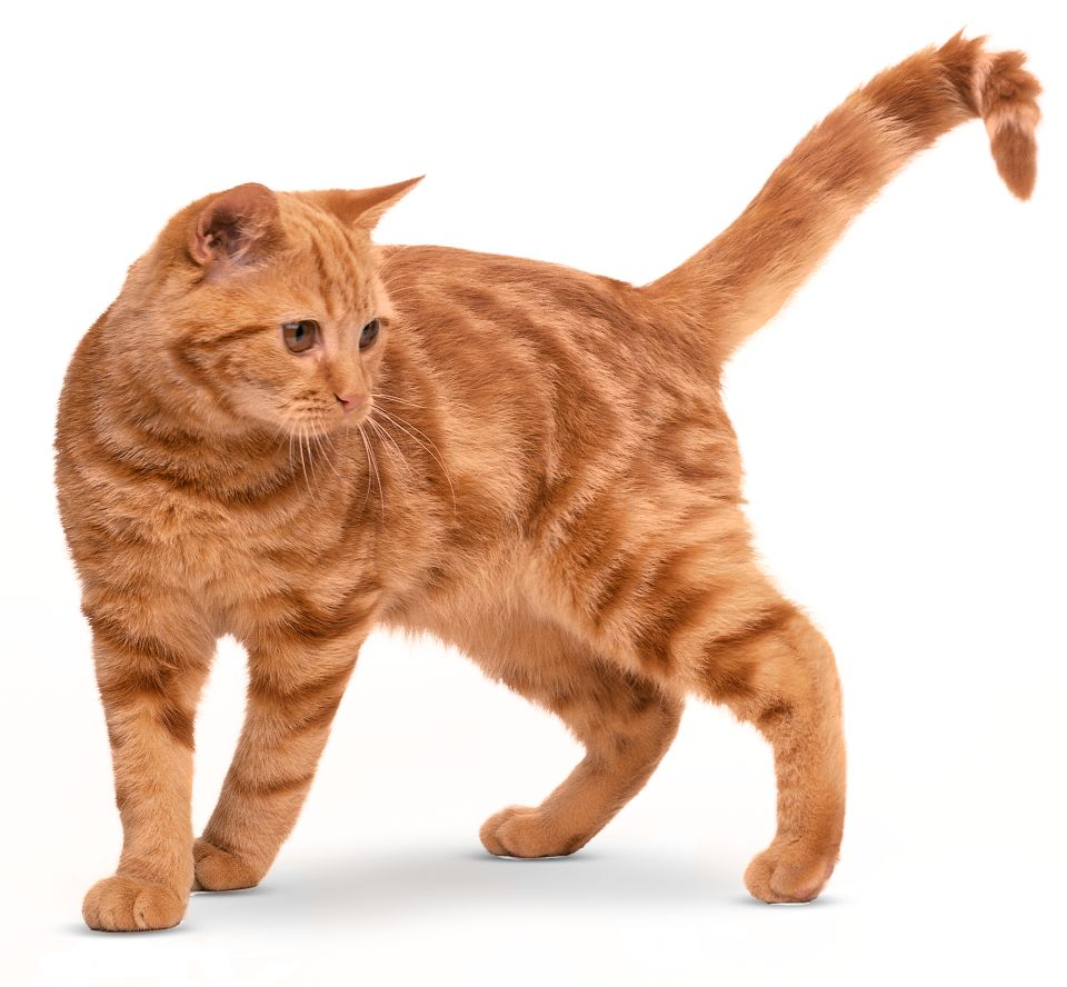 Types of Cats Domestic Cat Breeds