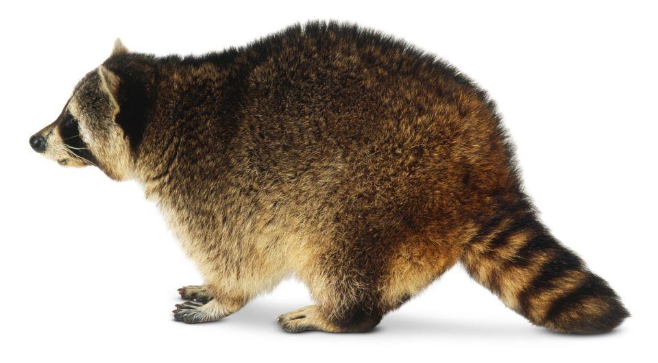Raccoons Eat Cats