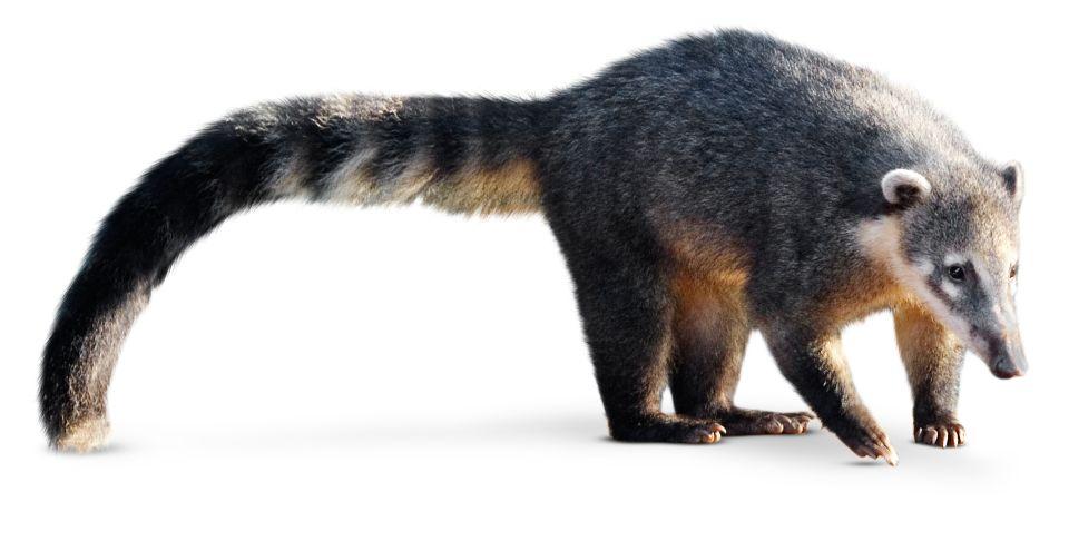 + animal that looks like a raccoon