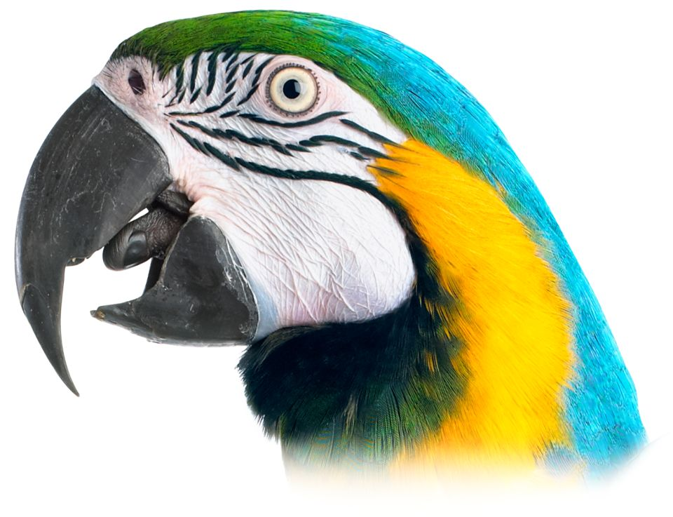 Parrot Without Beak