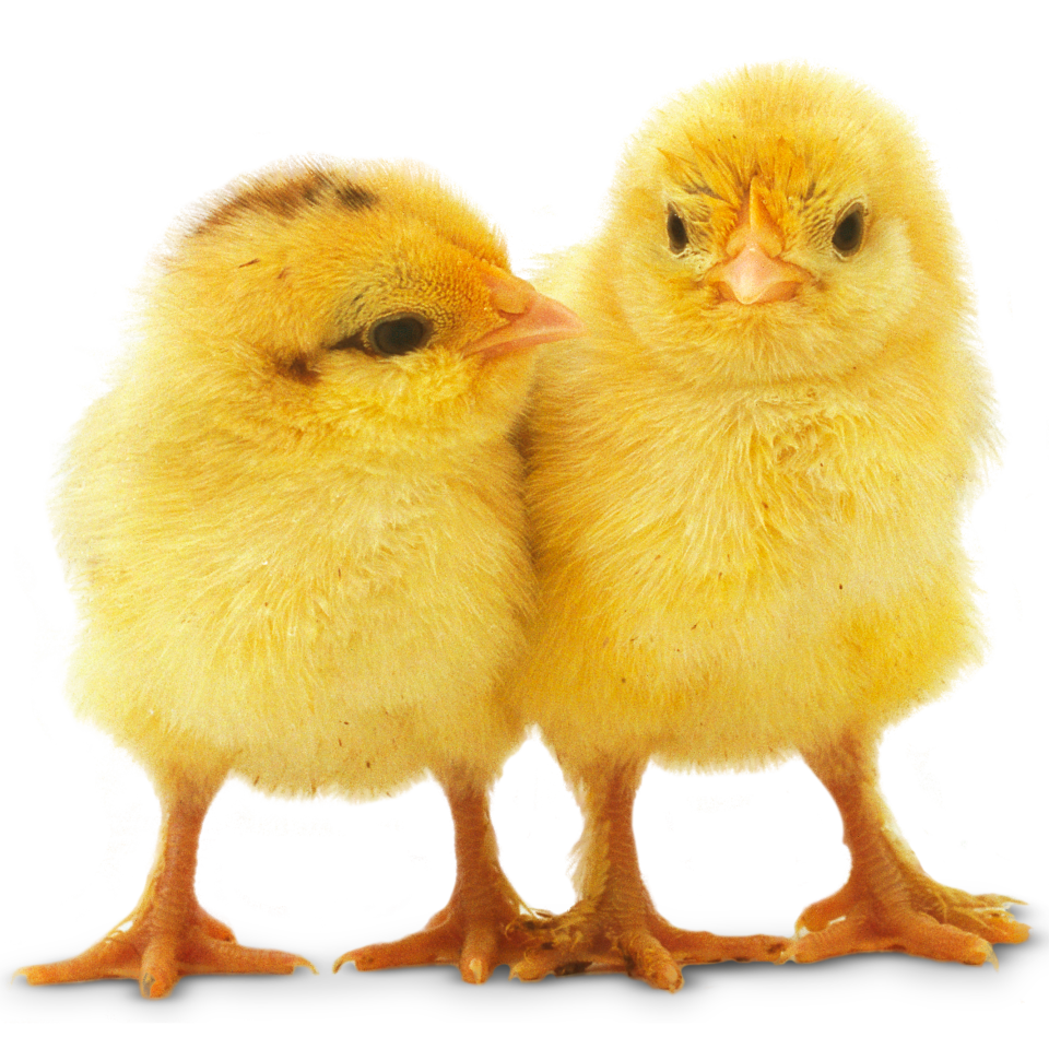 Image result for all about chickens
