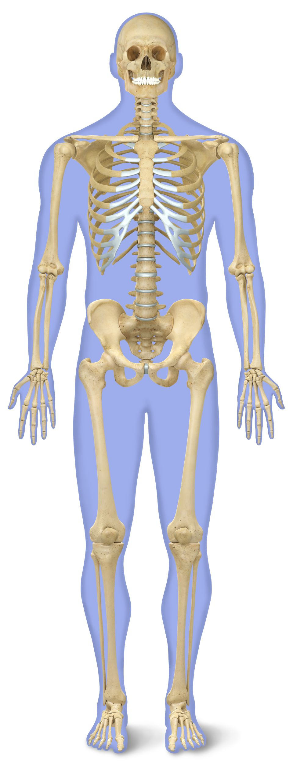 human skeleton for kids | human body skeleton | dk find out, Skeleton