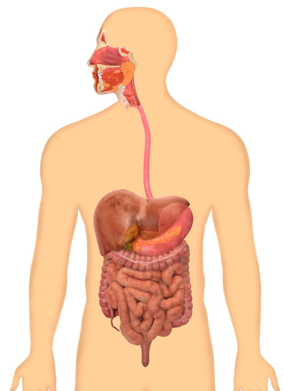 Human Body Digestive System