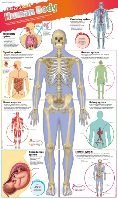 Wallchart cover of DKfindout! Human Body Poster
