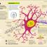Thumbnail image of How the Brain Works - 3