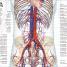 Thumbnail image of Human Anatomy - 6