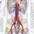 Thumbnail image of Human Anatomy - 6