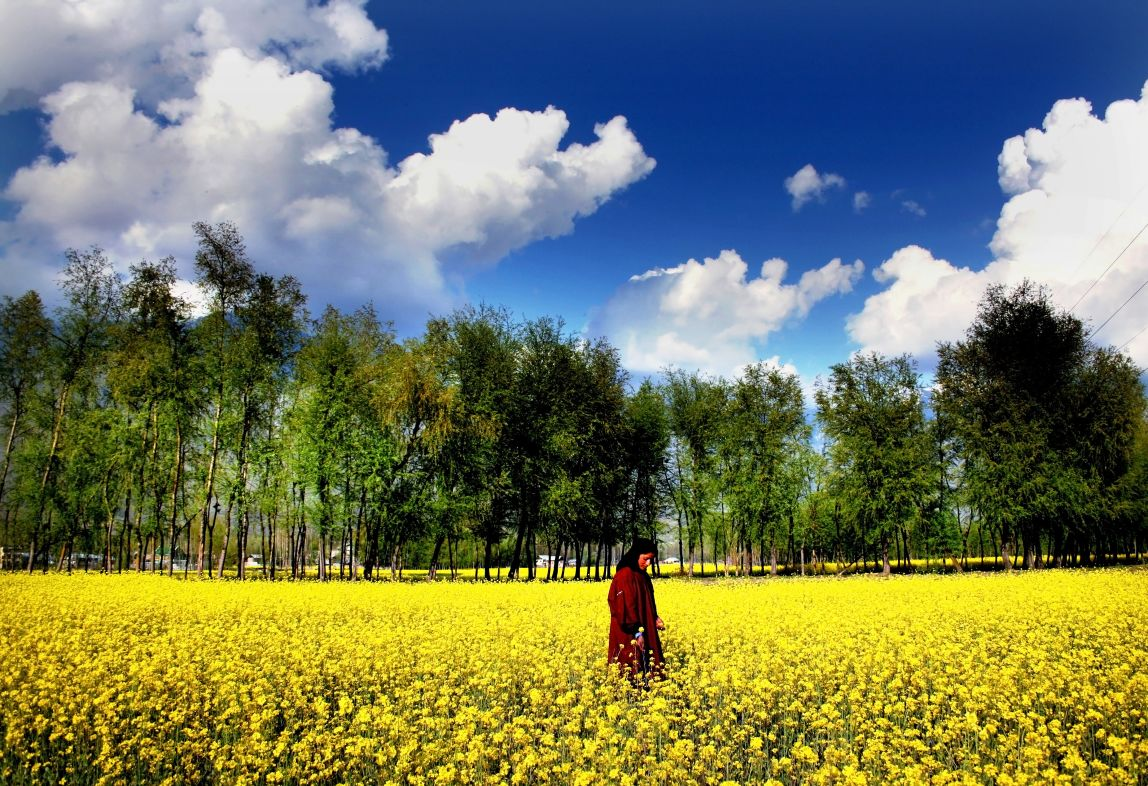 The worlds best spring views a kashmiri woman walks through mustered field during spring season india dhlflorist Gallery