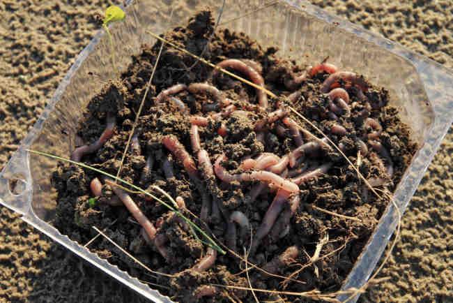 Cacing Tanah Sebagai Obat Alami dan Indikator Polusi - Alodokter